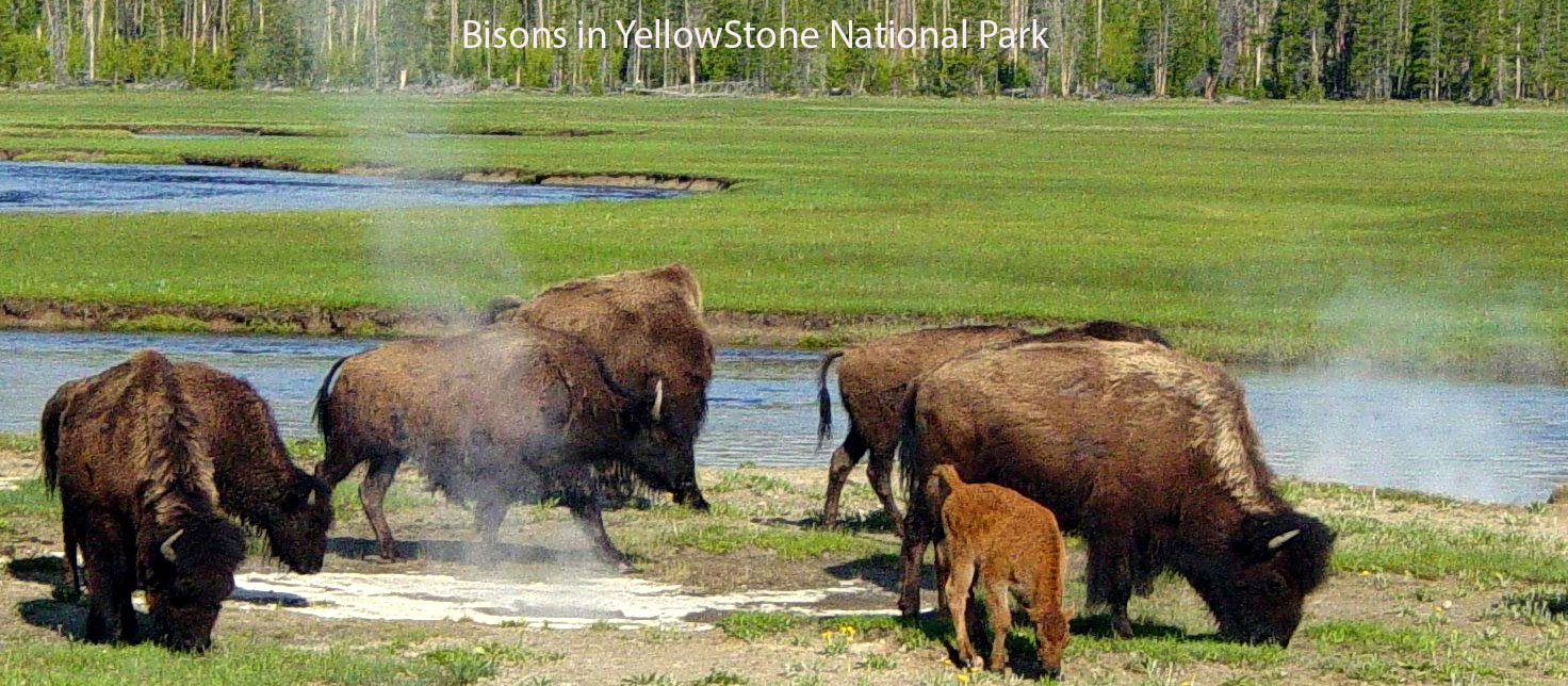 Bisons-in-Yellowstone-National-Park