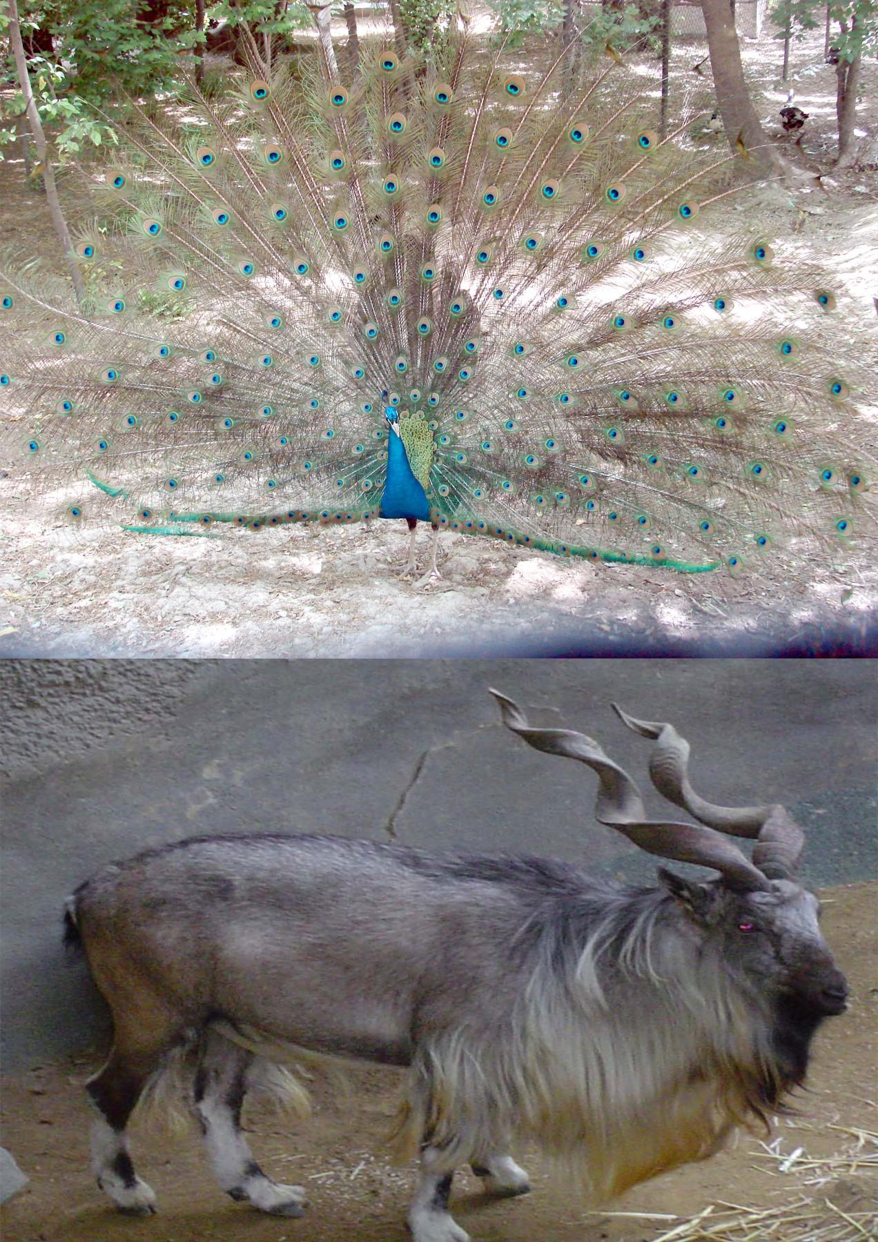 Kabul-Zoo-Peacock