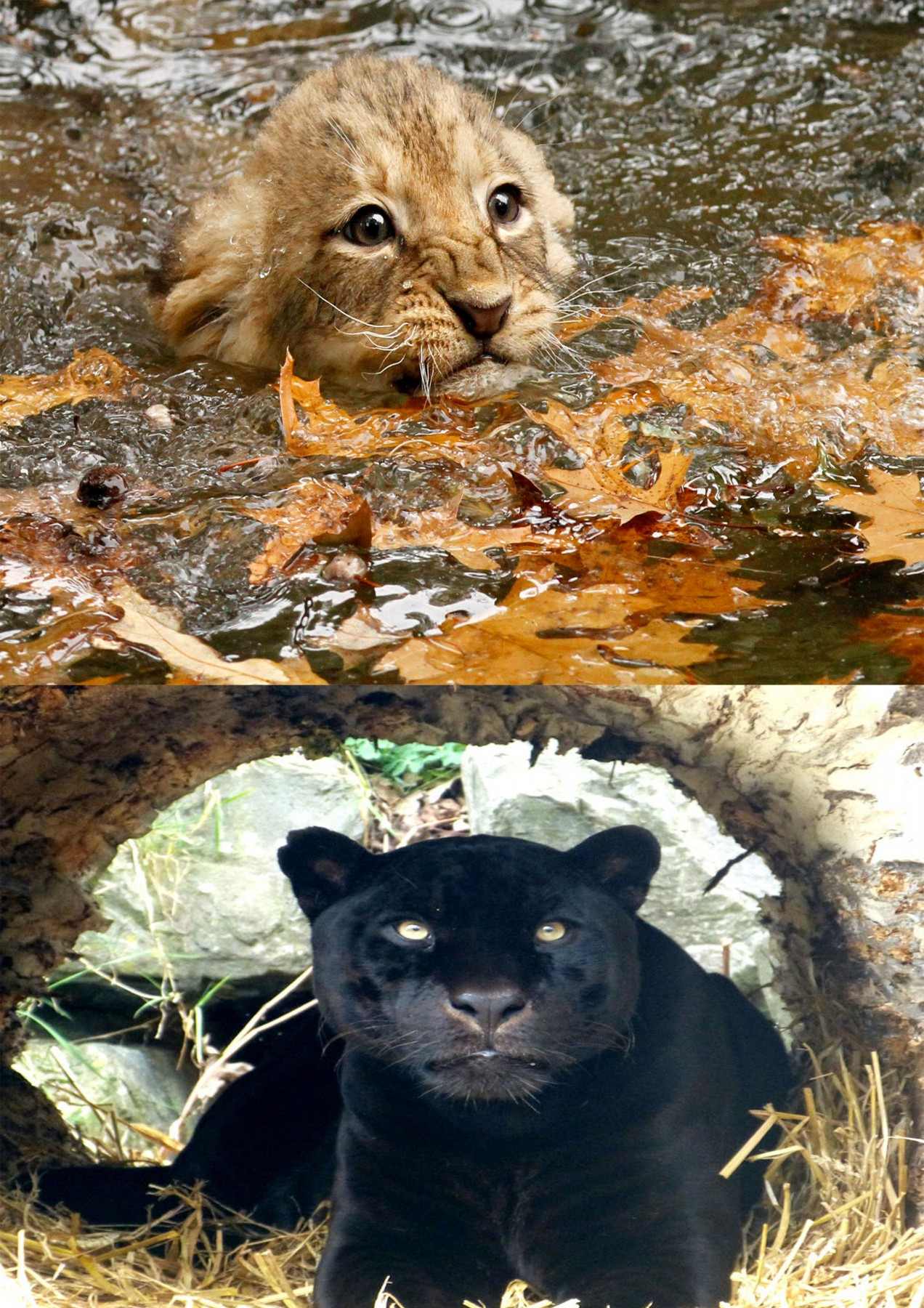 Kabul-Zoo-Puma